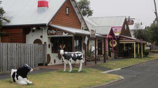 Cows in Cowaramup - 2
