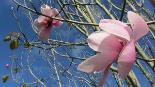 Magnolias - 2