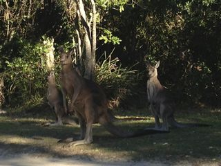 Kangaroos at Hat Head Campsite
