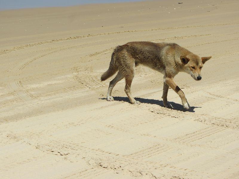 Lone Dingo - 2