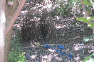 Bower by Satin Bowerbird