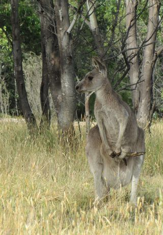 Kangaroos at Tom Groggin campsite - 3